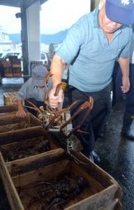漁解禁を迎え、名瀬漁協に水揚げされたイセエビ=22日、奄美市名瀬