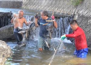 大美川の駆除作業で捕獲されたジルテラピア=29日、龍郷町