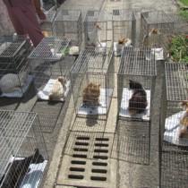 不妊手術後、元の場所へ戻される野良猫=7月11日、龍郷町秋名(奄美野生動物研究所提供)