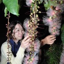 名瀬市街地で一夜限りの花を咲かせたサガリバナ=23日夜、奄美市名瀬