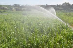 潮風害対策のかん水作業が行われたサトウキビ畑=5日、天城町