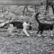 撮影された猫の親子。母猫(左)と見られる個体が獲物をくわえている(鹿大国際島嶼教育研究センター奄美分室提供)