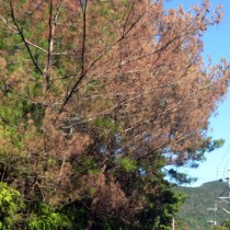 奄美南北に広がりをみせる松くい虫被害。奄美大島北部では葉が赤茶色になった被害木が目立つ=25日、奄美市笠利町