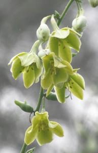 リュウゼツランの花