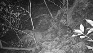 子育ての準備で落ち葉などを巣穴に運ぶアマミノクロウサギ=浜田太さん撮影