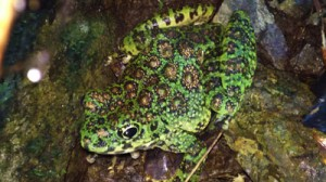 崎原水源地で生息が確認された絶滅危惧種のアマミイシカワガエル=20日、提供写真