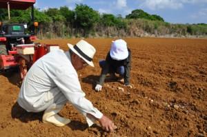 バレイショの植え付け作業を行う生産農家=7日、伊仙町