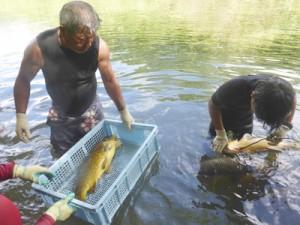 コイを捕獲する奄美海洋生物研究会(左)と捕獲したコイ=9月30日、宇検村河内川
