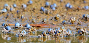 青い宝石のように輝くミナミコメツキガニ=奄美市住用町