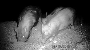 ウミガメの産卵巣を掘り起こすリュウキュウイノシシ=今年6月、大和村毛陣の砂浜(赤外線自動撮影装置で撮影=提供写真)