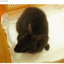 保護されたアマミノクロウサギ(環境省奄美野生生物保護センター提供)