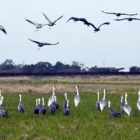 鳥インフルエンザの発生が相次いでいる出水平野のツル=11月29日、出水市