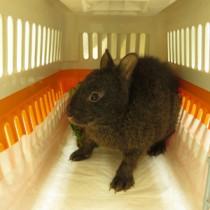 平川動物公園に移送されたアマミノクロウサギ=17日、ゆいの島どうぶつ病院(奄美野生生物保護センター提供)