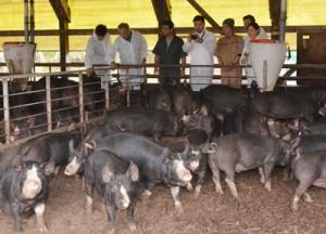 奄美島豚「あかりんとん」の飼育現場を視察した奄美出身シェフの吉野さん(左から2人目)、高田さん(同4人目)ら=5日、奄美市名瀬