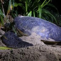 奄美群島に上陸し産卵するウミガメ(資料写真)