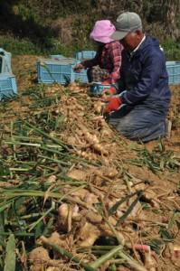 最盛期を迎えたショウガの収穫作業=17日、天城町兼久