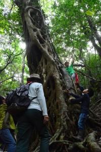 市理原でアコウの巨木を観察する参加者=4日、龍郷町