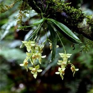 「ケイタオフウラン」とは別品種と分かり、新たに和名が付けられた「アマミカヤラン」(山下弘さん撮影)