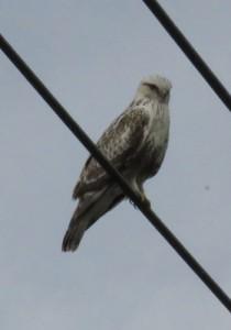ケアシノスリと思われる野鳥=喜界町で昨年12月、伊地知告さん撮影