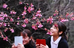 淡紅色の花が開いたヒカンザクラ=13日、龍郷町の長雲峠需要回復には紬の良さを肌で感じる着用体験も鍵の一つ。写真は龍郷町成人式=3日、りゅうゆう館