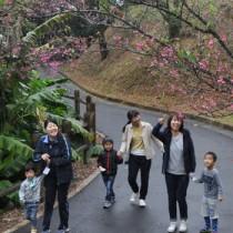 桜の花を見ながらウオーキングを楽しんだ参加者=29日、徳之島町