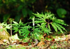 奄美大島の山中で咲いているアマミテンナンショウ