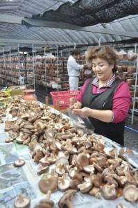 シイタケの菌床栽培のビニールハウスで出荷準備に忙しい杉浦さん夫妻=19日、宇検村石良