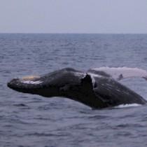 奄美大島近海で冬場に見られるザトウクジラ=奄美市住用町沖合、13日(提供写真)