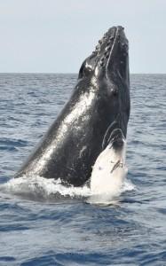 奄美大島周辺海域で1シーズンの確認数が過去最多の446頭に達したザトウクジラ