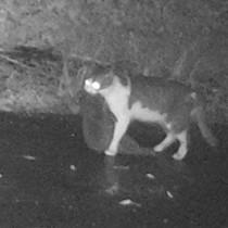 自動撮影カメラが捉えたアマミノクロウサギをくわえた猫=1月18日午後8時半ごろ、徳之島町手々(環境省徳之島自然保護官事務所提供)