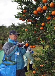 タンカンの島外出荷再開を喜びながら、収穫作業を行うツアー参加者=10日、大和村福元盆地