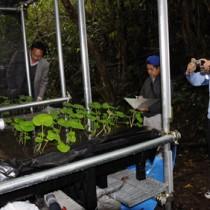 ワサビの試験栽培地を視察する関係者=12日、宇検村