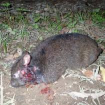 首付近から出血したアマミノクロウサギ=27日午後8時25分ごろ、宇検村の林道(環境省奄美野生生物保護センター提供)