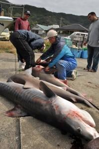 奄美市名瀬の沖合で駆除された5匹のサメ=5日、奄美市名瀬の大熊漁港