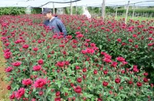 切り花収穫に汗を流す農家ら=9日、和泊町国頭