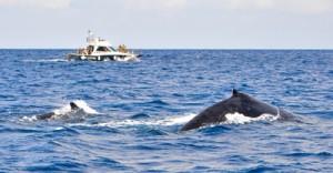 奄美近海に来遊するザトウクジラ=12日、大和村沖