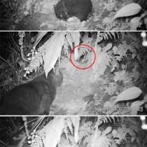 写真上からクロウサギの幼獣、幼獣(円内)を狙う猫。猫がアマミノクロウサギの幼獣を襲う場面=2月19日午前、奄美大島(いずれも鹿児島大国際島嶼教育研究センター奄美分室提供)