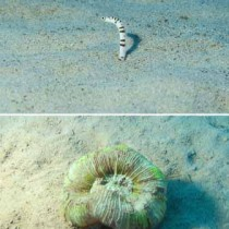 海洋生物レッドリストに掲載された「ゼブラアナゴ」(上)とヒユサンゴ=写真撮影・藤井琢磨さん