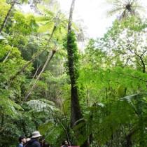 国立公園指定後の金作原原生林を散策する観光客