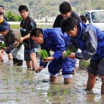 足首まで泥に漬かって作業での田植えを行う参加者=2日、龍郷町秋名
