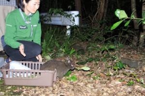 奄美野生生物保護センターの職員らによって森に返されたアマミノクロウサギ=28日午後8時半ごろ、奄美大島(伊藤圭子さん提供)