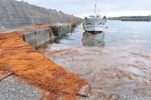 大量の海藻の漂着が確認された漁港=9日、与論町麦屋港