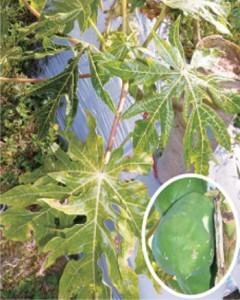ウイルス病に感染し、葉脈が透過しているパパイアの葉と凹凸がみられる果実(円内)=4日、徳之島町