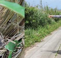 モズのひなと=写真右、モズを調査する濱尾さん(左)、山本さん=24日、喜界島