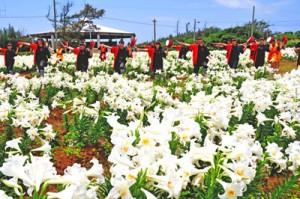 満開のユリ畑でゲリラライブを行う沖高エイサー部=4日、和泊町笠石海浜公園
