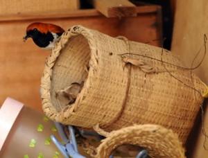 餌をくわえて巣に戻るアカヒゲの雄=12日、瀬戸内町