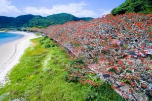 真っ赤な花が海岸線を彩る諸鈍のデイゴ並木=18日、瀬戸内町諸鈍(本社小型無人機で撮影)