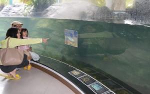 リュウキュウアユの稚魚を放流した展示水槽=2日、奄美市住用町のマングローブパーク