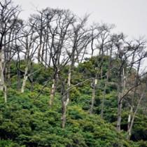 喜界島と与論島を除く奄美全域に広がる松枯れ被害=16日、奄美大島北部