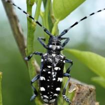 ミカン木に被害を及ぼすゴマダラカミキリムシの成虫(喜界町農業振興課提供)